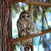 barred-owl-and-western-tanager-485-edit