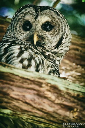 barred-owl-barred-life-washington-cedar-2