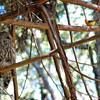 barred-owl-and-western-tanager 217-edit