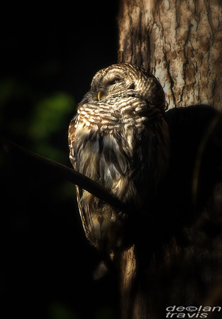 barred-owl-july-1-2017-055-resize-edit
