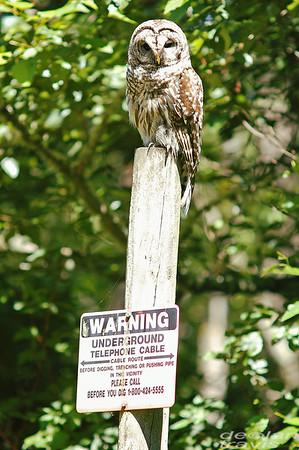 barred-owl-june-third-2016-vi
