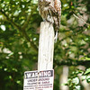 barred-owl-june-third-2016-vi