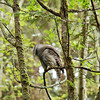 barred-owl-swallowing-bird-frame-11