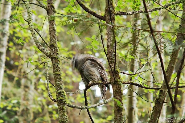 barred-owl-swallowing-bird-frame-11