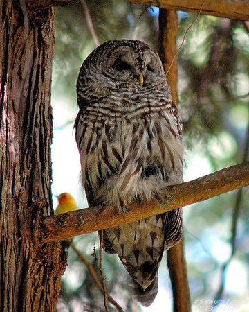 barred-owl-and-western-tanager 231-edit