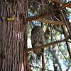 barred-owl-and-western-tanager-1
