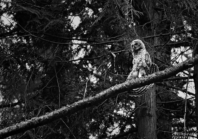 flamenco-owl-strectches-on-tree-branch