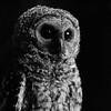 bw-owl-juvenile-iii