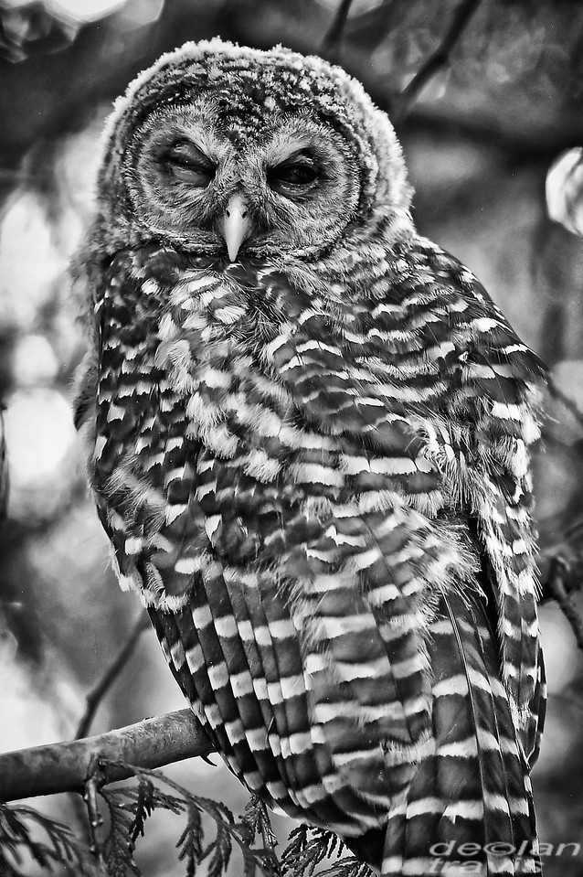 barred owl of barred life with declan travis in black and white