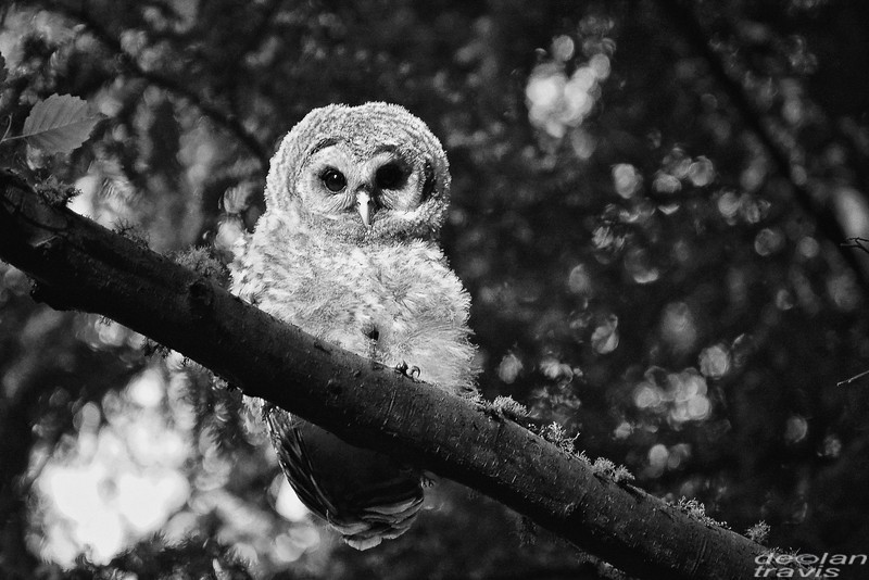 barred owl of barred life with declan travis in black and white on whidbey island