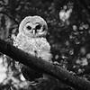 barred-owl-fledge-bnw