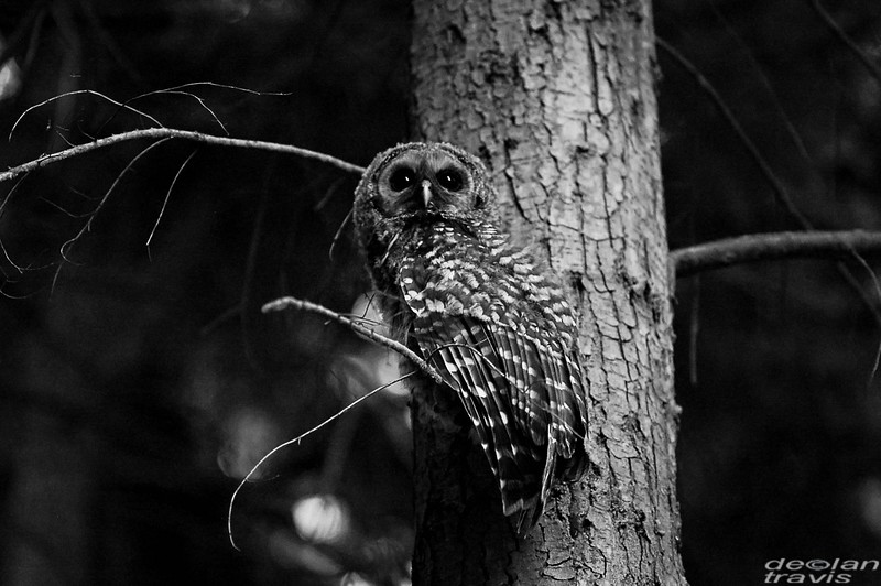 barred owl of barred life with declan travis in black and white whidbey island