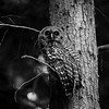 barred-owl-lookin-up-cedar-tree