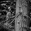 barred-owl-on-earth-day-four