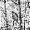barred-owl-swallowing-bird-sequence-frame-12-edit-bw