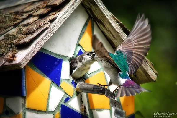 swallow-birdhouse-july-3-2017-6