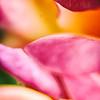 macrolixious-rose-petals