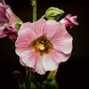hollyhock-bumble-1