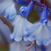 blue-flowers-closeup