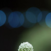flowering-onion-bokeh