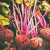 beets-bunch-garden-fresh