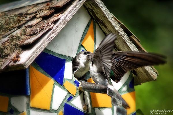 swallow-birdhouse-july-3-2017-4