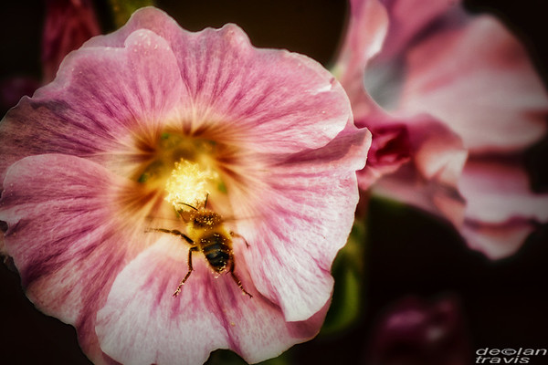 hollyhock-bumble-4