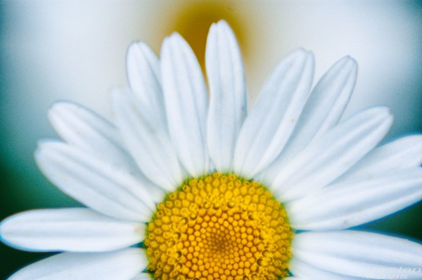 natural-daisy-flower-close