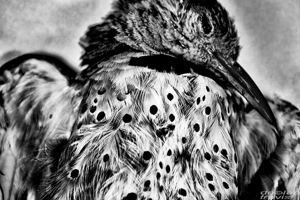 red-shafted-northern-flicker-bw