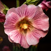 hollyhock-bumble-6