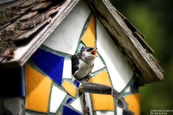 swallow-birdhouse-july-3-2017-2