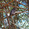 great-horned-owl-vertical-barred-life-whidbey-island