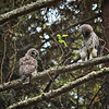 barred-owl-fledgling-stretch-sequence-2-declan-travis