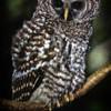 Owl-Week-29