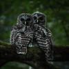 Owl-Week-26