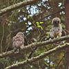 barred-owl-fledgling-stretch-sequence-3-declan-travis