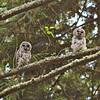 barred-owl-fledgling-stretch-ten-declan-travis