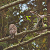 barred-owl-fledgling-stretch-sequence-5-declan-travis