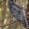 barred-owl-cedar-bough-whidbey