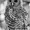 owl-fledge-barred-life-whidbey-island-edits-black-white