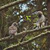 barred-owl-fledgling-stretch-sequence-2-declan-travis