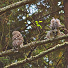 barred-owl-fledgling-stretch-sequence-4-declan-travis