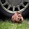 Plague of Bunnies, Langley, WA