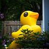 SRf2107_4987_Duck