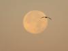 Bird and Full Moon