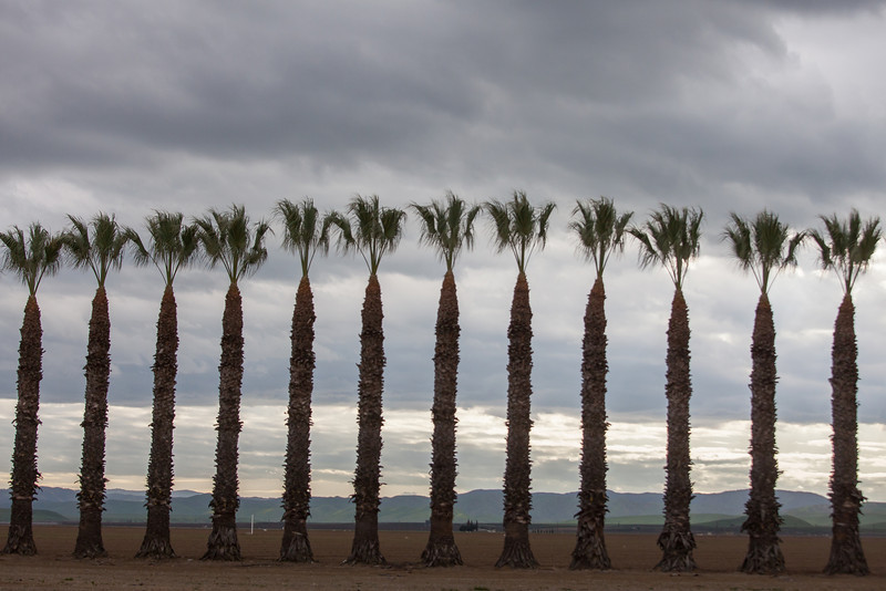 Line of Palm Trees  and Stormy Sky, Stanislaus County CA
