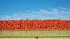 Truck Full of Tomatoes, Near Rio Vista CA
