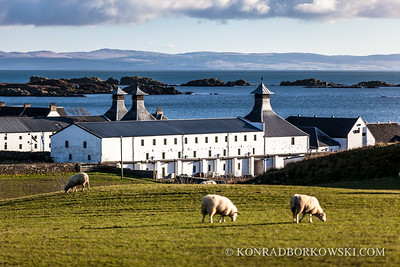Grazing sheep near Arbeg Distillery, Isle of Islay.