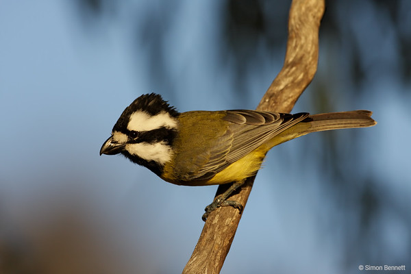 Whistlers and Shrike-tit