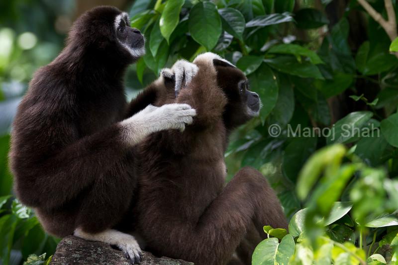 White Handed Gibbons.